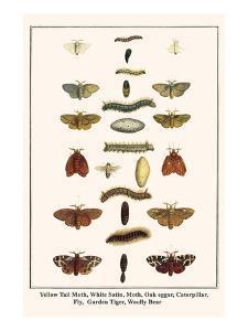 Yellow Tail Moth, White Satin, Moth, Oak Eggar, Caterpillar, Fly, Garden Tiger, Woolly Bear by Albertus Seba