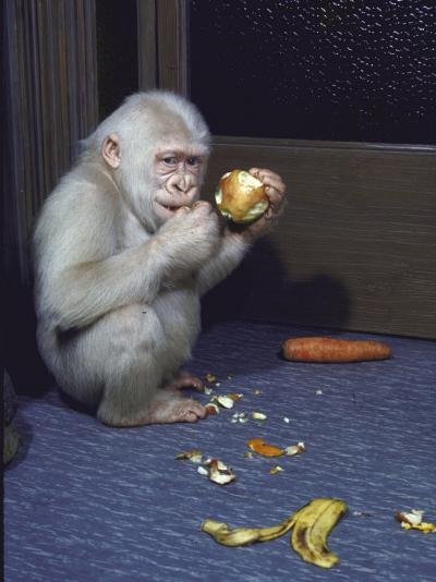 Albino Baby Gorilla Named Snowflake in Apartment of Barcelona Zoo's Veterinarian-Loomis Dean-Photographic Print