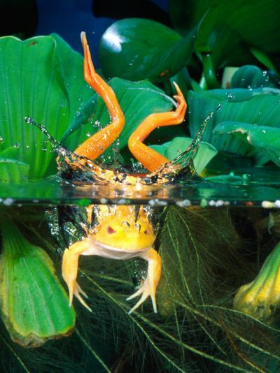 Albino Bull Frog Diving-David Northcott-Photographic Print