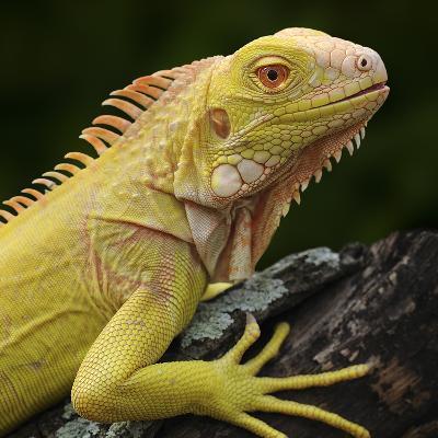 Albino Iguana (Iguana Iguana), Captive-Michael Kern-Photographic Print