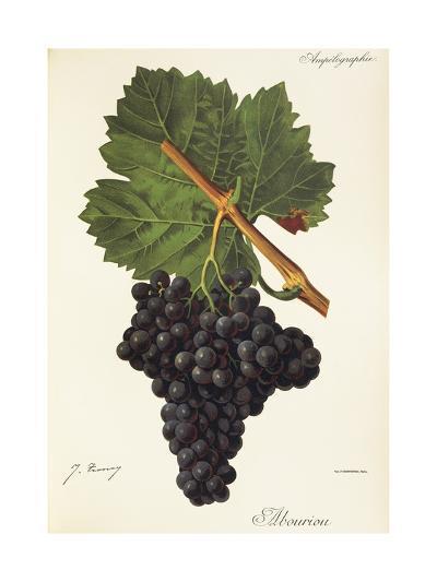 Albourion Grape-J. Troncy-Giclee Print