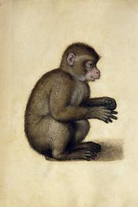 A Monkey by Albrecht D?rer