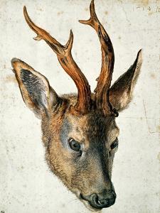 Head of a Roe Deer by Albrecht D?rer