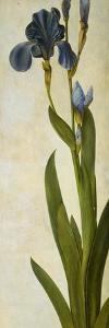 Iris by Albrecht D?rer