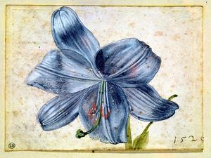 Study of a Lily, 1526 by Albrecht D?rer