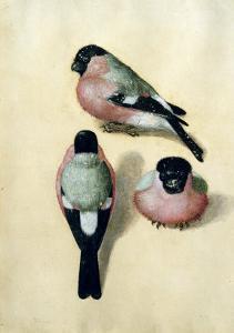 Three Studies of a Bullfinch by Albrecht D?rer