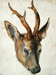 Head of a Roe Deer by Albrecht Dürer
