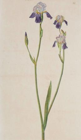 Iris (detail)