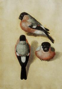 Parrot in Three Positions by Albrecht Dürer