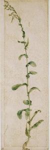 Plante de tabac by Albrecht Dürer
