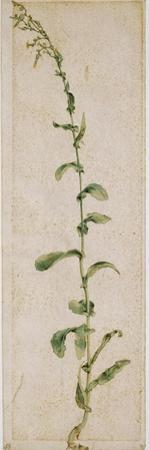 Plante de tabac