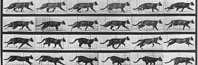 Album sur la d?composition du mouvement: Animal Locomotion: chat-Eadweard Muybridge-Giclee Print