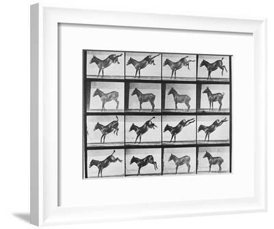 """Album sur la décomposition du mouvement : """"Animal locomotion"""", 1872/85.:  Ruade de l'âne-Eadweard Muybridge-Framed Giclee Print"""