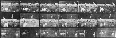 Album sur la décomposition du mouvement:Animal Locomotion/cygnes et flamands-Eadweard Muybridge-Giclee Print