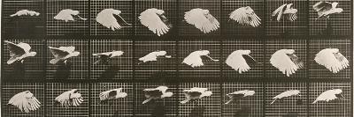"""Album sur la décomposition du mouvement : """"Animal locomotion"""". Le Perroquet volant-Eadweard Muybridge-Giclee Print"""