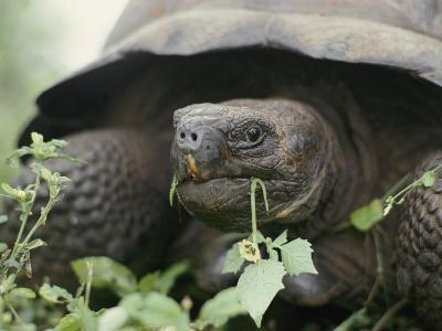 Alcedo Volcano is Home to One of the Largest Concentration of Giant Galapagos Tortoises-Sam Abell-Photographic Print