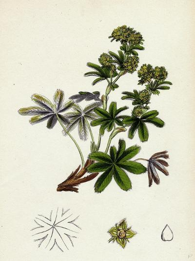 Alchemilla Conjuncta Silvery Lady'S-Mantle--Giclee Print
