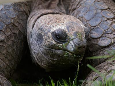 Aldabra Tortoise, Native to Aldabra Island, Near Seychelles-Adam Jones-Photographic Print