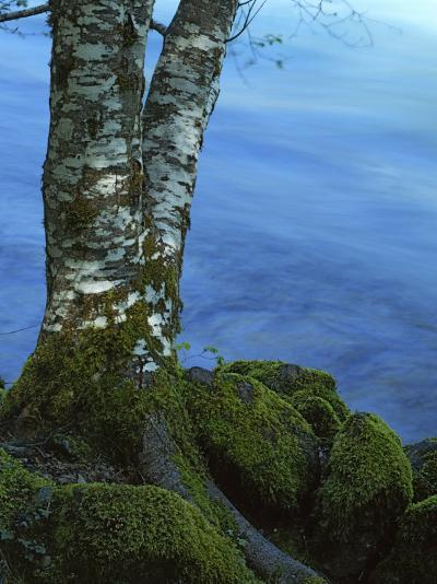 Alder Trunk along the McKenzie River, Willamette National Forest, Oregon, USA-Charles Gurche-Photographic Print