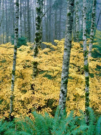 Alders and Vine Maples, Clatsop County, North Coastal Range, Oregon, USA--Photographic Print