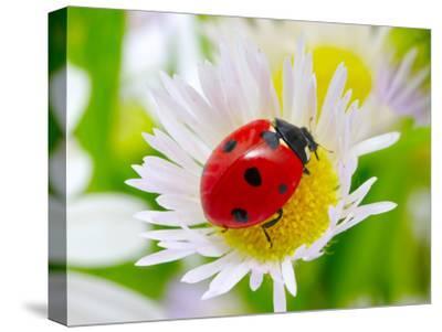Ladybug Sits On A Flower Petal