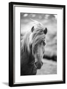 Portrait of Icelandic Horse in Black and White by Aleksandar Mijatovic