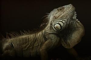 Iguana Profile by Aleksandar Milosavljevi?