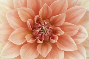 Light Red Dahlia Flower Macro by Alenka Krek