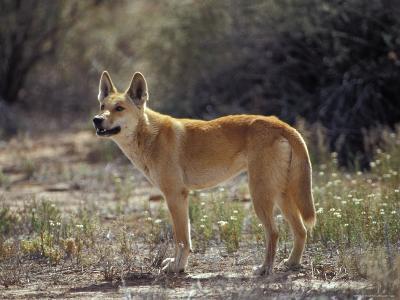 Alert Dingo Standing in an Open Patch of Desert Wild Flowers, Australia-Jason Edwards-Photographic Print