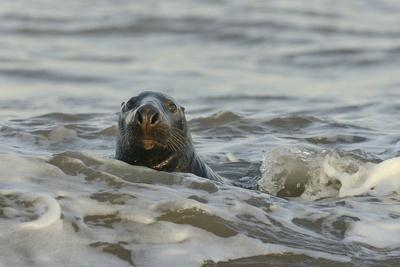 https://imgc.artprintimages.com/img/print/alert-grey-seal-halichoerus-grypus-spy-hopping-at-the-crest-of-a-wave-to-look-ashore_u-l-pwg9i00.jpg?p=0
