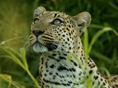 Alert Leopard Looking About As It Lies in Tall Grass-Beverly Joubert-Photographic Print