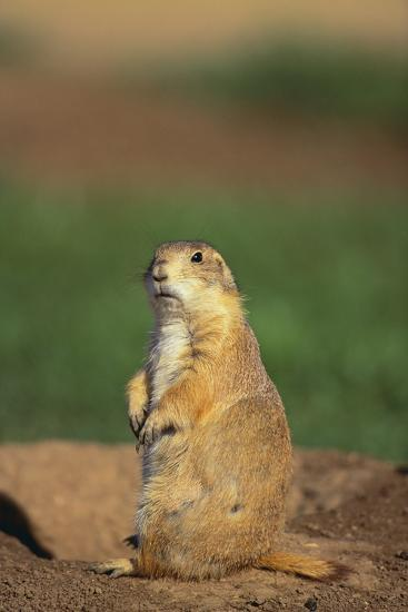 Alert Prairie Dog-DLILLC-Photographic Print