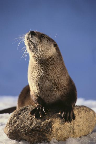 Alert River Otter-DLILLC-Photographic Print
