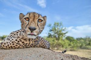 Hungry Cheetah by Alessandro Catta