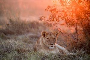Sunset Lioness by Alessandro Catta