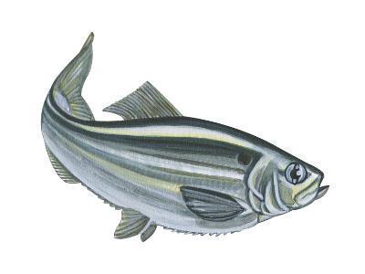 Alewife (Pomolobus Pseudoharengus), Fishes-Encyclopaedia Britannica-Art Print