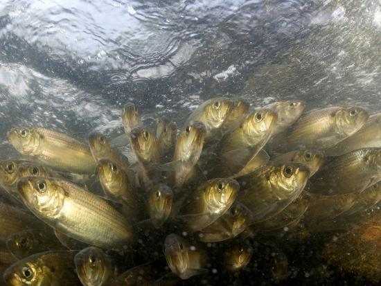 Alewives Run in the Rivers of Maine Every Spring-Heather Perry-Photographic Print