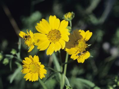 Close Up of Yellow Wild Flowers, New Mexico, Usa
