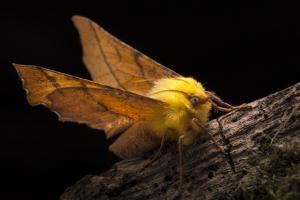 Canary-Shouldered Thorn Moth (Ennomos Alniaria). Peak District National Park, Derbyshire, UK by Alex Hyde