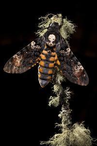 Death's Head Hawkmoth (Acherontia Atropos) UK. Captive Bred by Alex Hyde