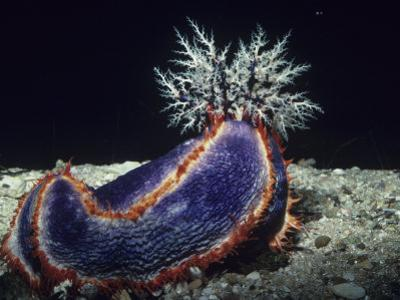 Sea Cucumber with Feeding Tentacles Extended, Pseudocolochirus, Australia by Alex Kerstitch