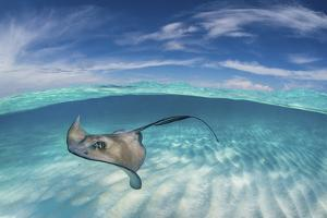 A Split Level Image of Southern Stingray (Dasyatis Americana) Swimming over a Sand Bar by Alex Mustard