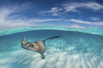 A Split Level Image of Southern Stingray (Dasyatis Americana) Swimming over a Sand Bar