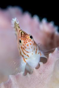 A threadfin hawkfish on a barrel sponge, Indonesia by Alex Mustard