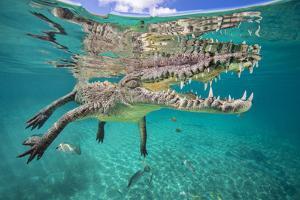 American crocodile reflected in the surface as it floats, Jardines de la Reina, Cuba by Alex Mustard