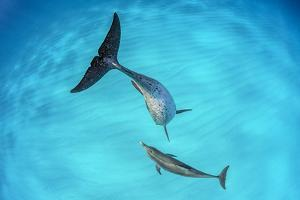 Atlantic spotted dolphin mother and young swimming over a shallow, sandy seabed. Bahamas by Alex Mustard