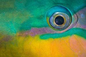 Bullethead parrotfish male, close up of eye, whilst sleeping at night, Sinai, Egypt. Red Sea by Alex Mustard