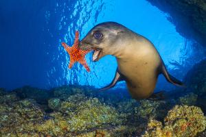 California sea lion uses a Panamic cushion star as a toy. La Paz, Baja California Sur, Mexico by Alex Mustard