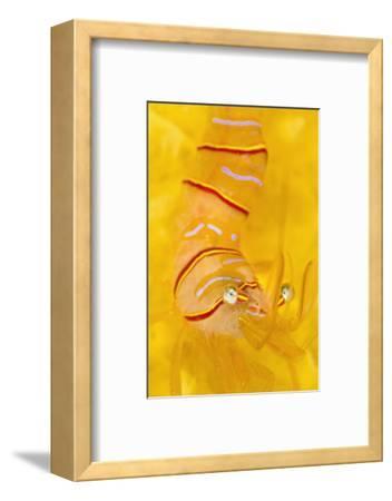 Candy Stripe Shrimp (Lebbeus Grandimanus) On A Yellow Sponge