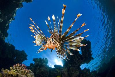 Female Lionfish (Pterois Volitans) On Coral Reef. Jackfish Alley, Ras Mohammed Marine Park, Sinai